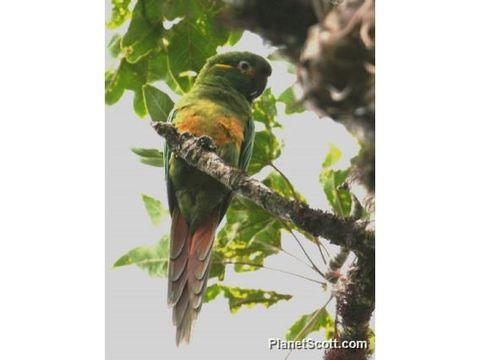 Image of Golden-plumed Parakeet