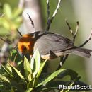 Image of Rufous-chested Tanager