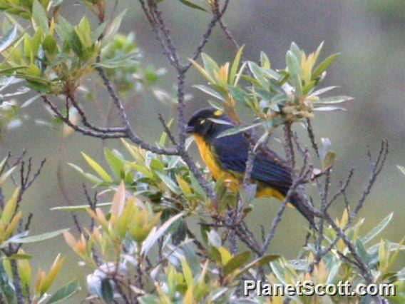Image of Lacrimose Mountain-Tanager