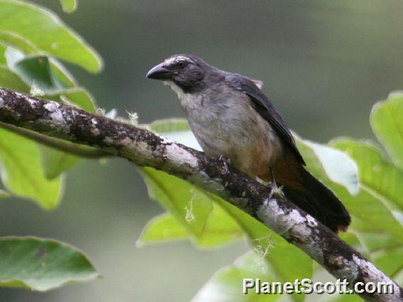 Image of Grayish Saltator