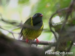 Image of Green-and-black Fruiteater