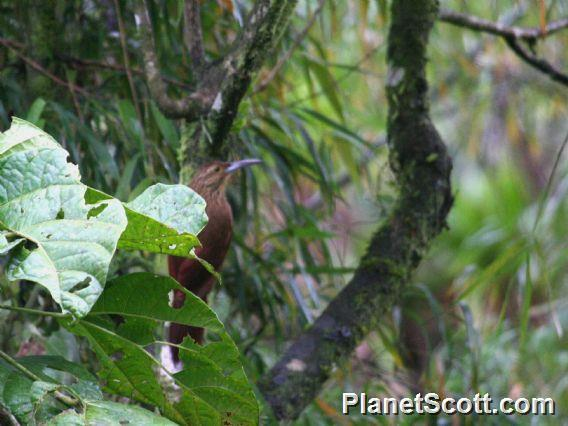 Image of Strong-billed Woodcreeper