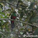 Image of Golden-headed Quetzal