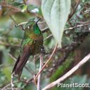 Image of Tyrian Metaltail