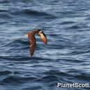 Image of Galapagos Petrel