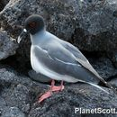 Image of Swallow-tailed Gull