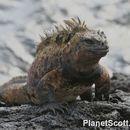 Image of Marine Iguana