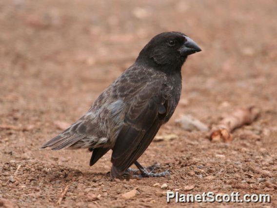 Image of Medium Ground-Finch
