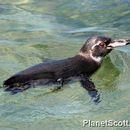 Image of Galapagos Penguin