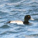 Image of Lesser scaup