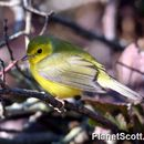 Image of Hooded Warbler