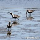 Image of Black-bellied plover