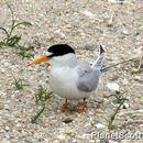 Image of Least tern