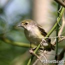 Image of White-eyed Vireo