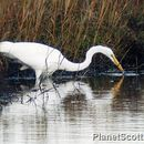Image of Western great egret