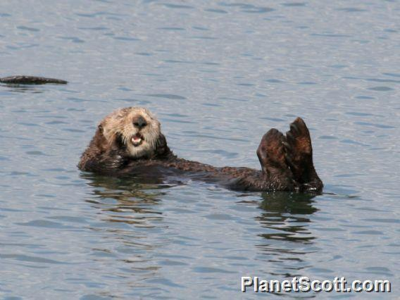 Image of Sea Otter