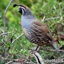 Image of California Quail
