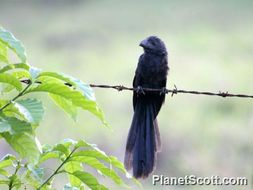 Image of Groove-billed Ani