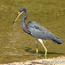Image of Louisiana Heron
