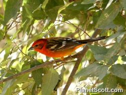 Image of Flame-colored Tanager