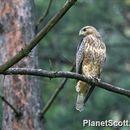 Image of Common buzzard