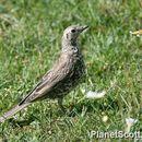 Image of Mistle thrush