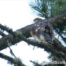 Image of Eurasian Sparrowhawk