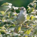 Image of Blyth's Reed Warbler