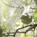 Image of Willow warbler