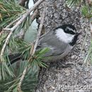 Image of Mountain Chickadee