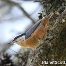 Image of Red-breasted Nuthatch