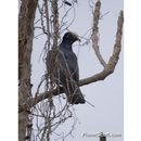 Image of White-crowned Pigeon