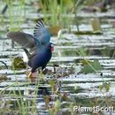 Image of American Purple Gallinule