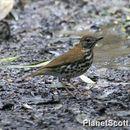 Image of Wood thrush