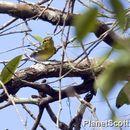 Image of Yellow-throated Vireo