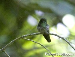 Image of Emerald-chinned Hummingbird