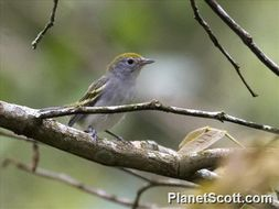 Image of Chestnut-sided Warbler