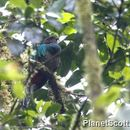 Image of Resplendent Quetzal