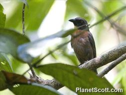 Image of Black-cheeked Ant-Tanager
