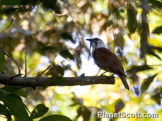 Image of Three-wattled Bellbird