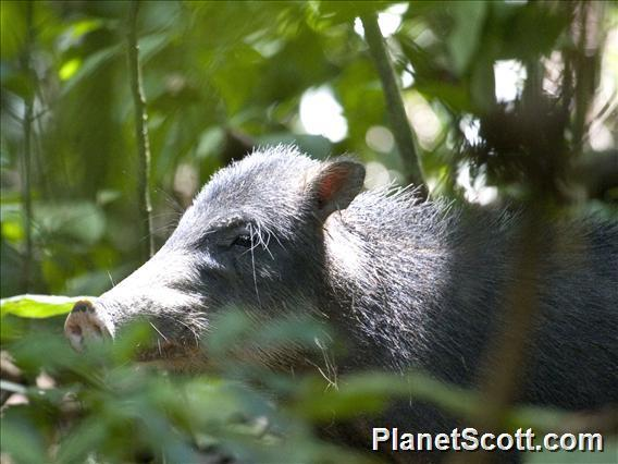 Image of White-lipped Peccary