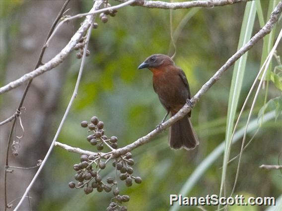 Image of Red-crowned Ant-Tanager