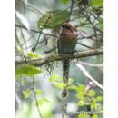 Image of Broad-billed Motmot