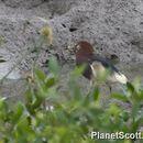 Image of Chinese Pond-Heron