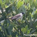 Image of Sooty-headed Bulbul