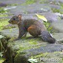Image of Pallas's Squirrel