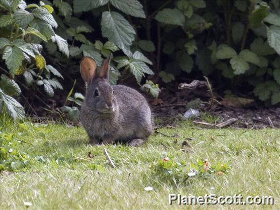 Image of Brush Rabbit