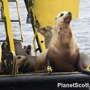 Image of Steller sea lion
