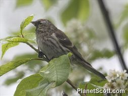 Image of Common Redpoll