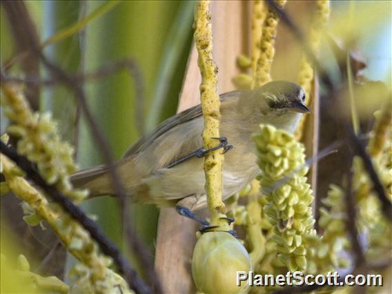 Image of Tuamotu Reed Warbler